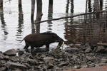 Pig eating lake reeds