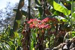 Poinsettia in New Guinea