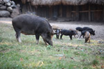 Mama pig with piglets