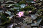 Pink lotus [papua_5956]