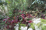 Magenta-colored understory plants