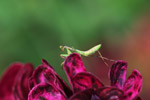 Praying mantis on a magenta leaf [papua_6029]
