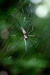 Orb spider [west-papua_0098]