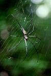 Orb spider [west-papua_0098]