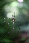 Orb spider [west-papua_0100]