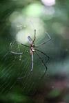 Orb spider [west-papua_0100]