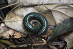 Green millipede