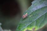 Beige jumping spider