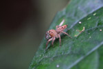 Beige jumping spider [west-papua_0182]