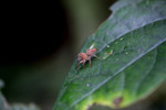 Beige jumping spider [west-papua_0183]