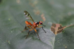 Orange wasp [west-papua_0209]