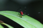 Red katydid with a green head and black legs [west-papua_0217]