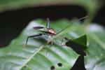 Multicolored shield bug [west-papua_0223]
