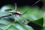Multicolored shield bug [west-papua_0228]