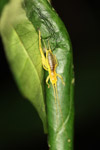 Yellow katydid