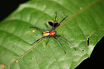 Orange spider with black legs [west-papua_0310]
