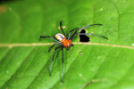 Orange spider with black legs [west-papua_0312]