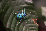 Bennett's blue weevil (Eupholus bennetti - Curculionidae family), a spectacular blue and turquoise beetle from New Guinea