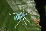 Blue and turquoise beetle from New Guinea [not Eupholus bennetti]