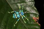 Schoenherr's blue weevil