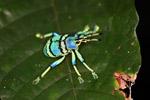 Schoenherr's blue weevil (Eupholus schoenherri - Curculionidae family) [west-papua_0357]