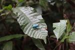 Schoenherr's blue weevil (Eupholus schoenherri - Curculionidae family) [west-papua_0369]