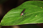 Fly with metallic blue-green legs
