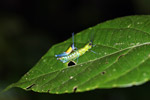 Blue, yellow and orange grasshopper (male) mating with a green and turquoise grasshopper (female) [west-papua_0390]
