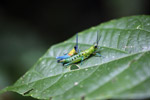 Blue, yellow and orange grasshopper (male) mating with a green and turquoise grasshopper (female) [west-papua_0392]