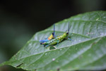Blue, yellow and orange grasshopper (male) mating with a green and turquoise grasshopper (female)