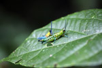 Blue, yellow and orange grasshopper (male) mating with a green and turquoise grasshopper (female) [west-papua_0397]