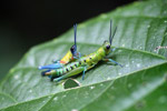 Blue, yellow and orange grasshopper (male) mating with a green and turquoise grasshopper (female) [west-papua_0399]