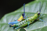 Blue, yellow and orange grasshopper (male) mating with a green and turquoise grasshopper (female) [west-papua_0401]