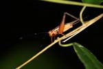 Orange katydid