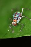 Red, orange, turquoise, green, and blue katydid nymph [west-papua_0419]