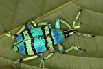 Blue and turquoise beetle from New Guinea [west-papua_0434]
