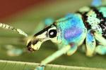 Schoenherr's blue weevil [west-papua_0436]