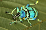 Blue and turquoise weevil (Eupholus schoenherri - Curculionidae family) [west-papua_0439]