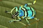 Blue and turquoise weevil (Eupholus schoenherri - Curculionidae family) [west-papua_0439]