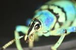 Eupholus schoenherri blue weevil [west-papua_0443]