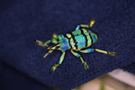 Eupholus schoenherri weevil, a blue-green-turquoise beetle from New Guina