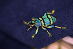 Eupholus schoenherri weevil, a blue-green-turquoise beetle from New Guina [west-papua_0466]