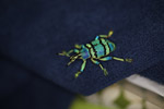 Eupholus schoenherri weevil, a blue-green-turquoise beetle from New Guina [west-papua_0468]