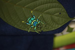 Eupholus schoenherri weevil, a blue-green-turquoise beetle from New Guina [west-papua_0473]