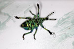Eupholus schoenherri weevil, a blue-green-turquoise beetle from New Guina [west-papua_0477]