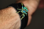 Eupholus schoenherri weevil, a blue-green-turquoise beetle from New Guina [west-papua_0482]