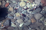 Hermit crabs in an estuary near Manokwari