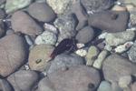 Hermit crabs in an estuary near Manokwari [west-papua_0604]