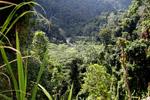 Rainforest in the Arfak Mountains [west-papua_0620]