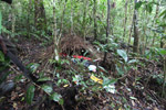 Vogelkop Bowerbird bower with red fruit and other items to attract females [west-papua_0739]